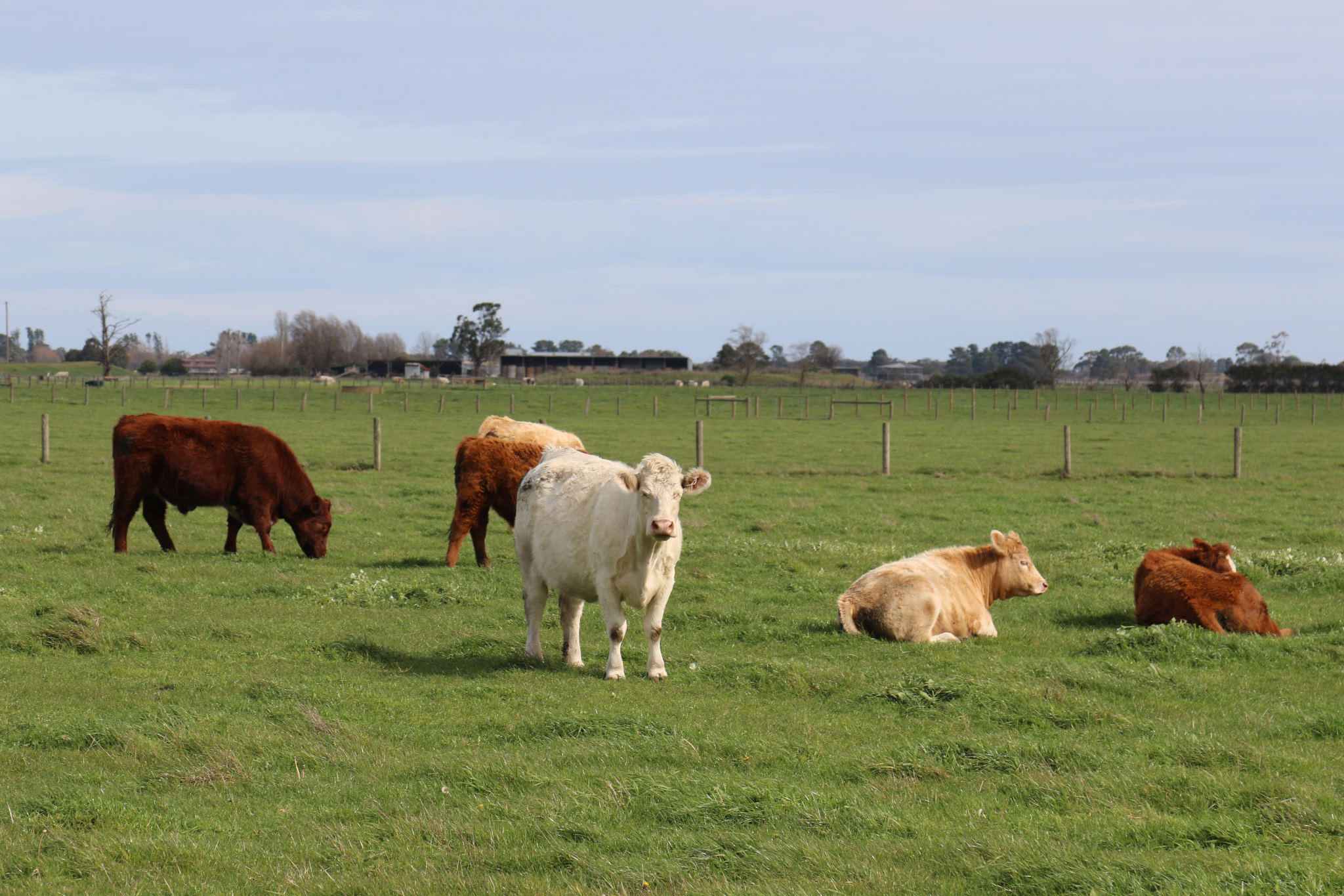 Cattle Indications - Cows grazing on green farm