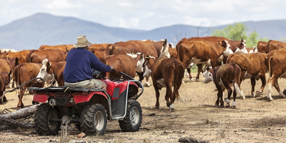 Australian Farmer on Quad Bike Near Cattle