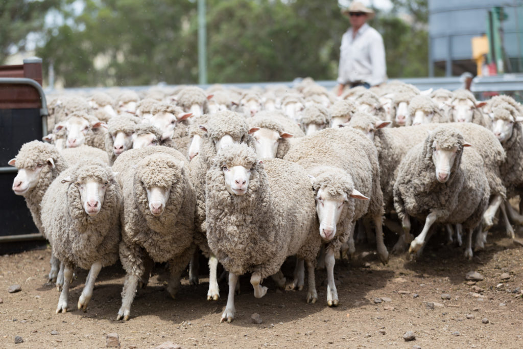 Using HAT-TRICK drench for NSW Haynes Farm & Hardware Coolah Sheep