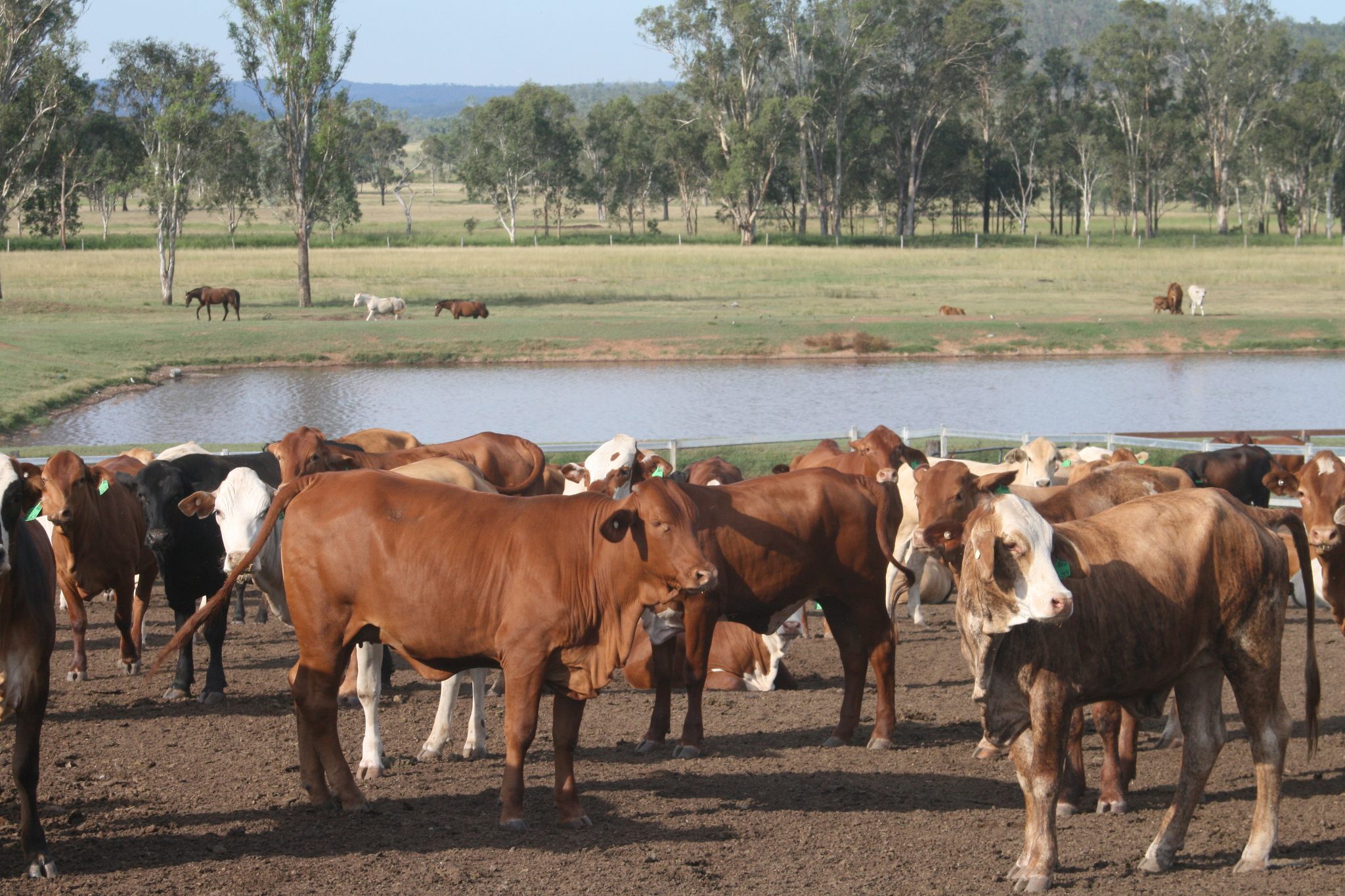 Pre-feedlot vaccination - cattle in Queensland by water